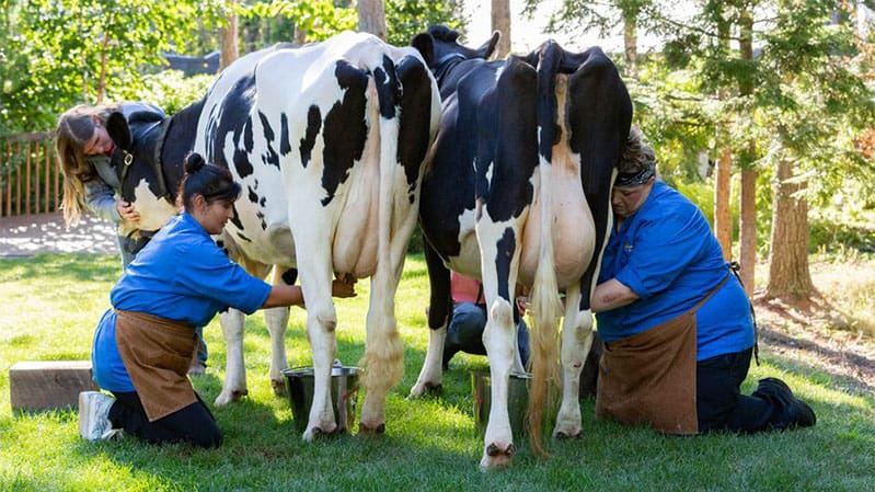 milking-cows-with-saba-wahid-chopped-finale